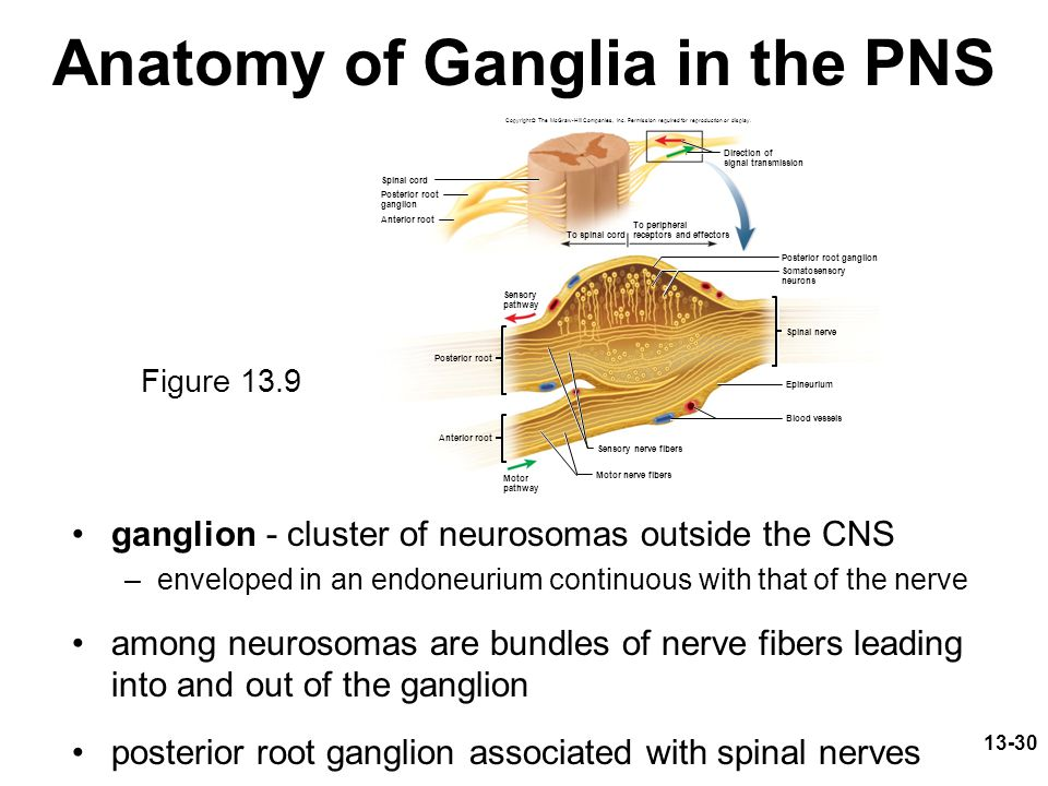 13-30 Anatomy of Ganglia in the PNS ganglion - cluster of neurosomas outside the CNS –enveloped in an endoneurium continuous with that of the nerve am