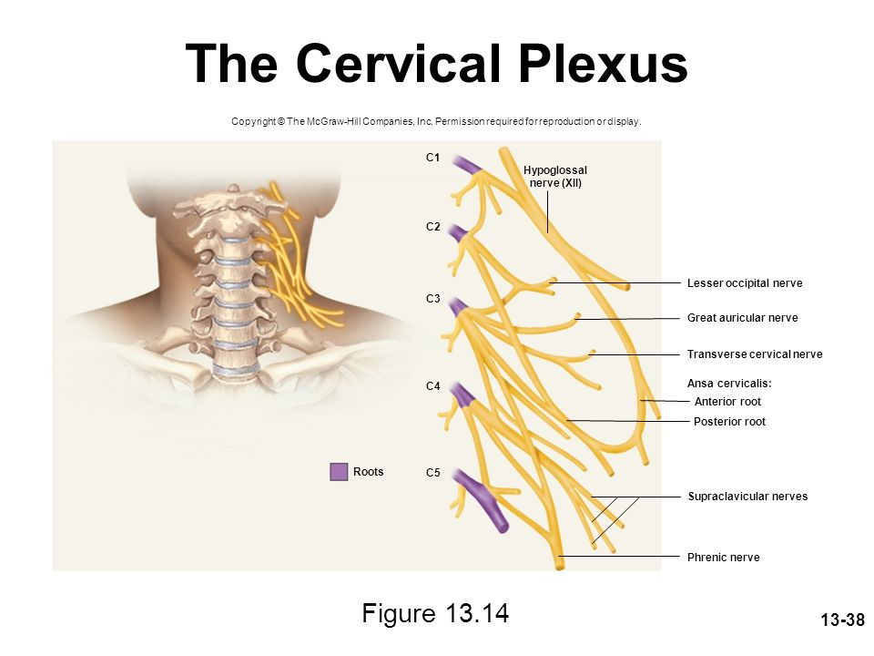 13-38 The Cervical Plexus Figure 13.14 Copyright © The McGraw-Hill Companies, Inc. Permission required for reproduction or display. Lesser occipital n