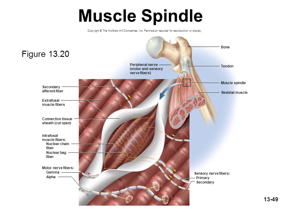 13-49 Muscle Spindle Motor nerve fibers: Gamma Alpha Skeletal muscle Sensory nerve fibers: Primary Secondary Bone Tendon Muscle spindle Peripheral ner