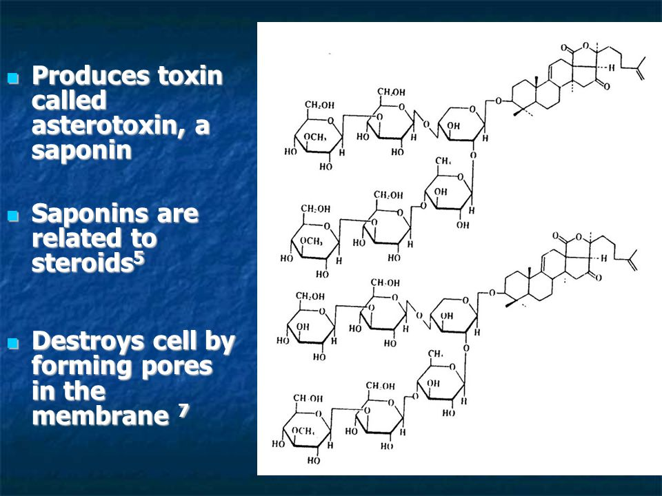 Produces toxin called asterotoxin, a saponin Produces toxin called asterotoxin, a saponin Saponins are related to steroids 5 Saponins are related to steroids 5 Destroys cell by forming pores in the membrane 7 Destroys cell by forming pores in the membrane 7