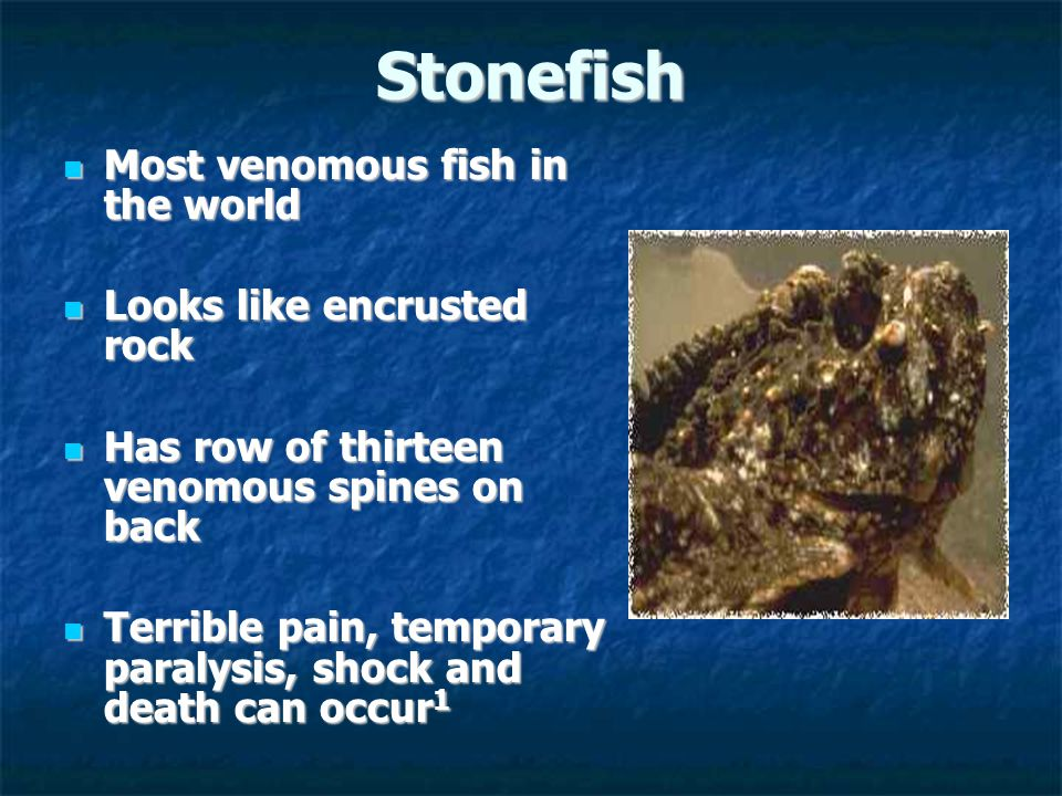 Stonefish Most venomous fish in the world Most venomous fish in the world Looks like encrusted rock Looks like encrusted rock Has row of thirteen venomous spines on back Has row of thirteen venomous spines on back Terrible pain, temporary paralysis, shock and death can occur 1 Terrible pain, temporary paralysis, shock and death can occur 1
