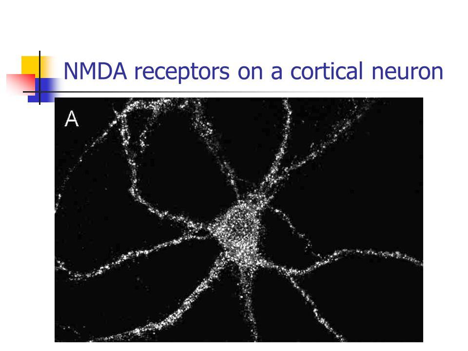 NMDA receptors on a cortical neuron