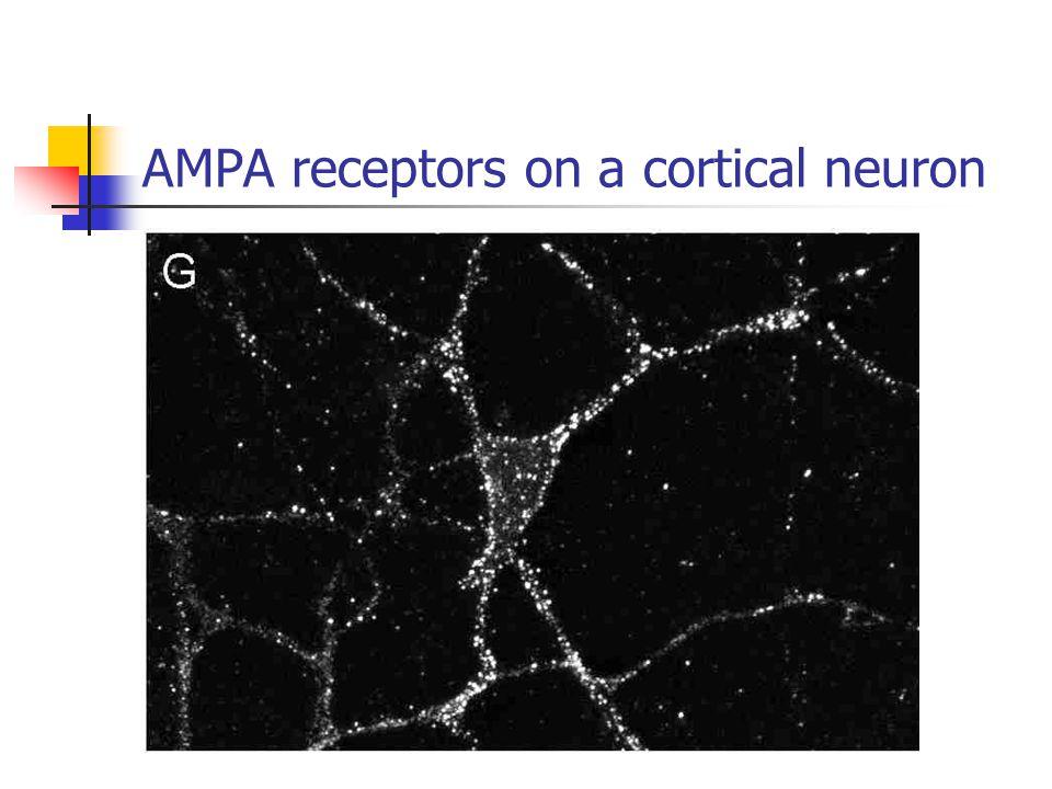 AMPA receptors on a cortical neuron