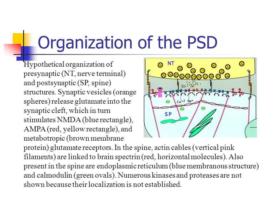 Organization of the PSD Hypothetical organization of presynaptic (NT, nerve terminal) and postsynaptic (SP, spine) structures. Synaptic vesicles (oran