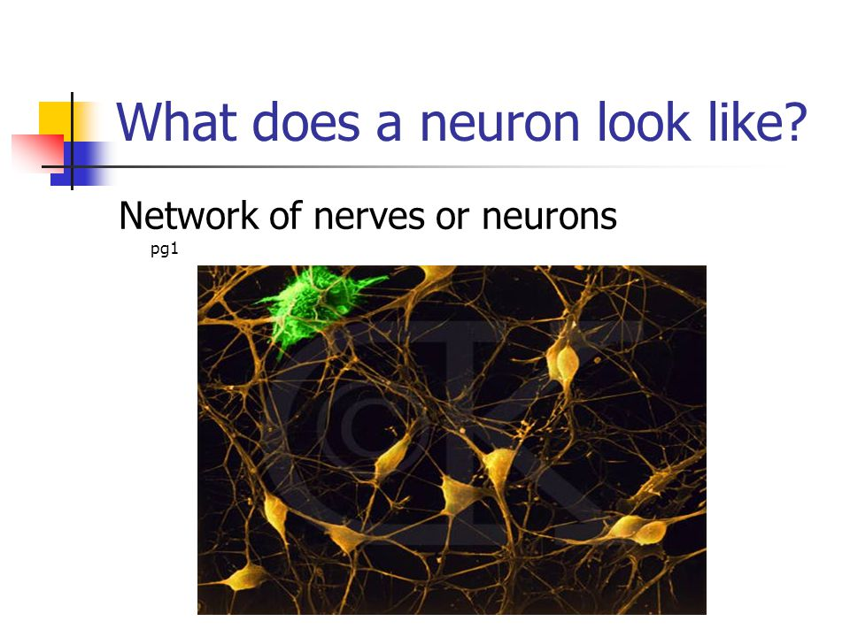 What does a neuron look like? Network of nerves or neurons pg1