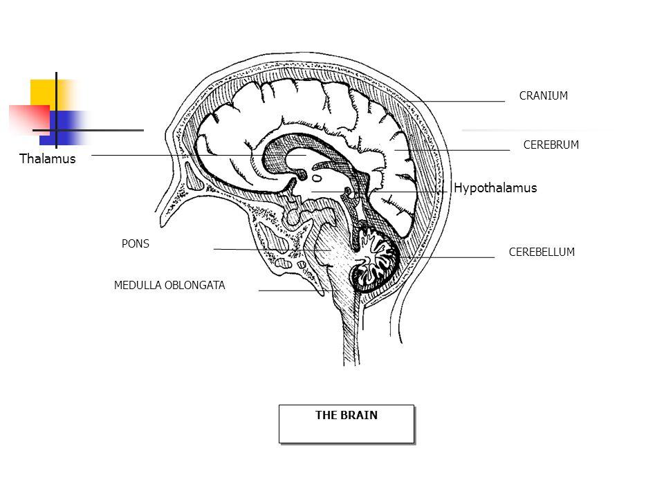 CRANIUM CEREBRUM CEREBELLUM PONS MEDULLA OBLONGATA THE BRAIN Hypothalamus Thalamus