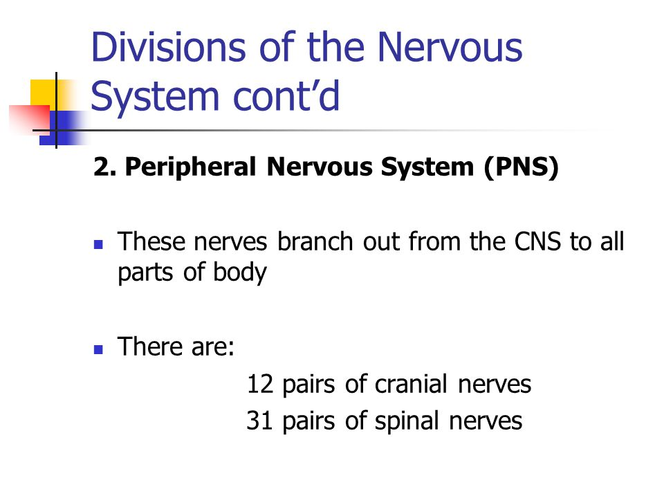 Divisions of the Nervous System cont'd 2. Peripheral Nervous System (PNS) These nerves branch out from the CNS to all parts of body There are: 12 pair