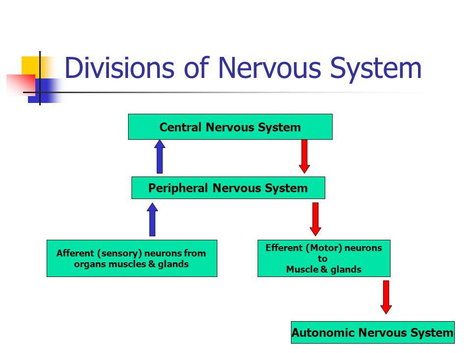 Divisions of Nervous System Central Nervous System Peripheral Nervous System Efferent (Motor) neurons to Muscle & glands Afferent (sensory) neurons fr