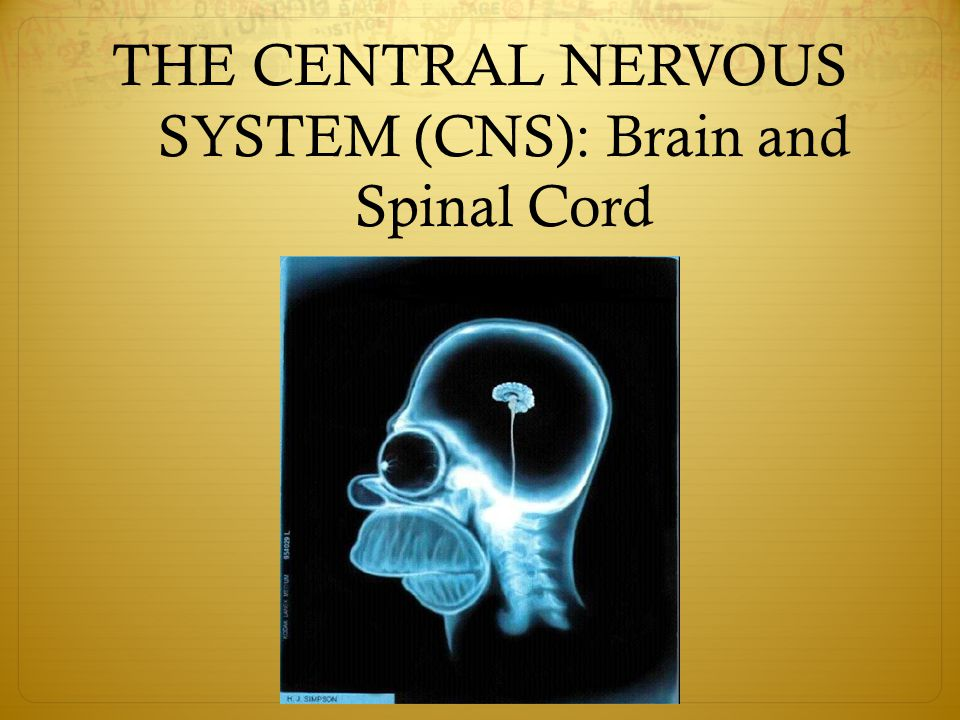 THE CENTRAL NERVOUS SYSTEM (CNS): Brain and Spinal Cord