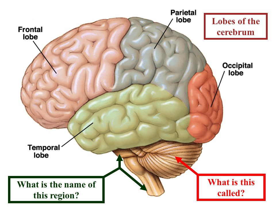 Lobes of the cerebrum What is this called What is the name of this region