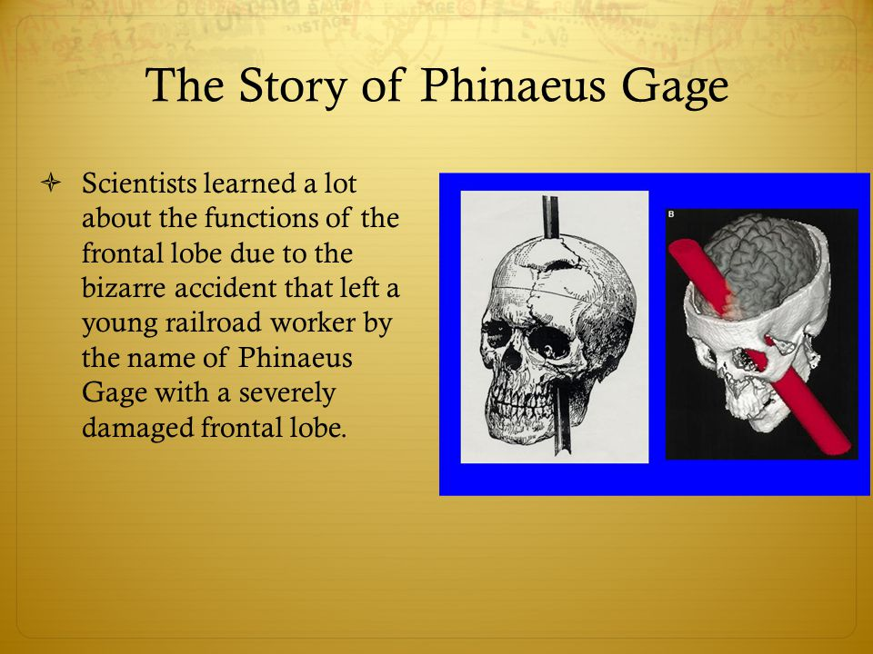 The Story of Phinaeus Gage  Scientists learned a lot about the functions of the frontal lobe due to the bizarre accident that left a young railroad worker by the name of Phinaeus Gage with a severely damaged frontal lobe.
