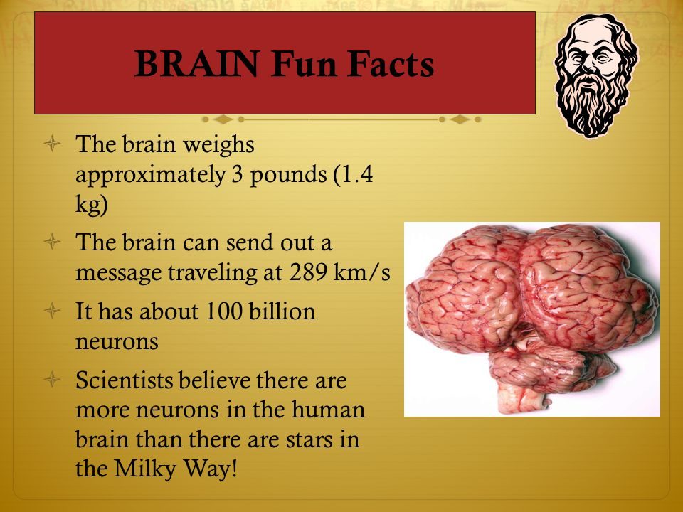 BRAIN Fun Facts  The brain weighs approximately 3 pounds (1.4 kg)  The brain can send out a message traveling at 289 km/s  It has about 100 billion neurons  Scientists believe there are more neurons in the human brain than there are stars in the Milky Way!
