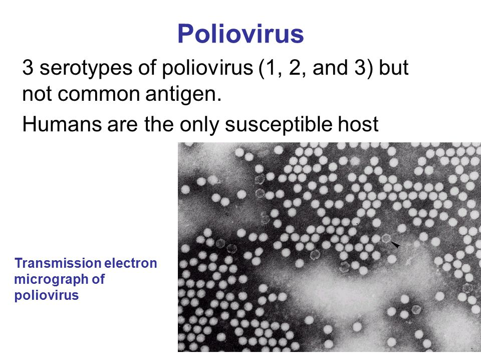 Poliovirus 3 serotypes of poliovirus (1, 2, and 3) but not common antigen. Humans are the only susceptible host Transmission electron micrograph of po