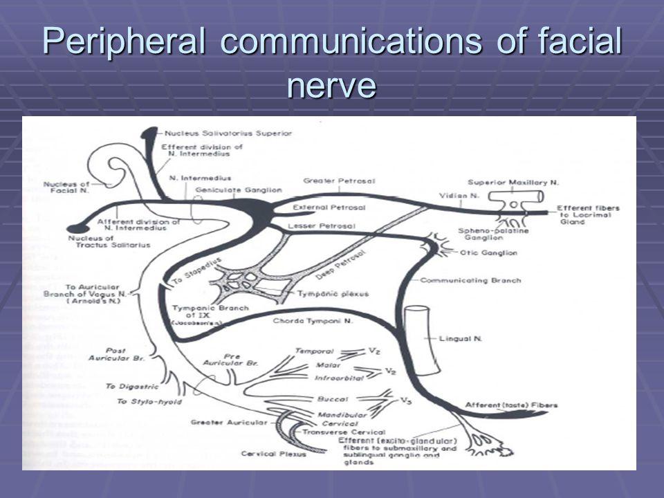 Facial nerve embryonic development: Extratemporal segment – Parotid