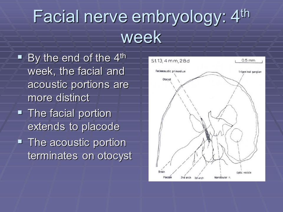 Facial nerve embryology: 4 th week  By the end of the 4 th week, the facial and acoustic portions are more distinct  The facial portion extends to placode  The acoustic portion terminates on otocyst