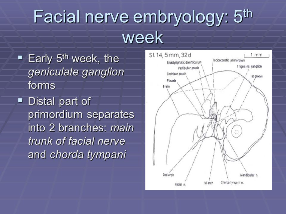 Facial nerve embryology: 5 th week  Early 5 th week, the geniculate ganglion forms  Distal part of primordium separates into 2 branches: main trunk of facial nerve and chorda tympani