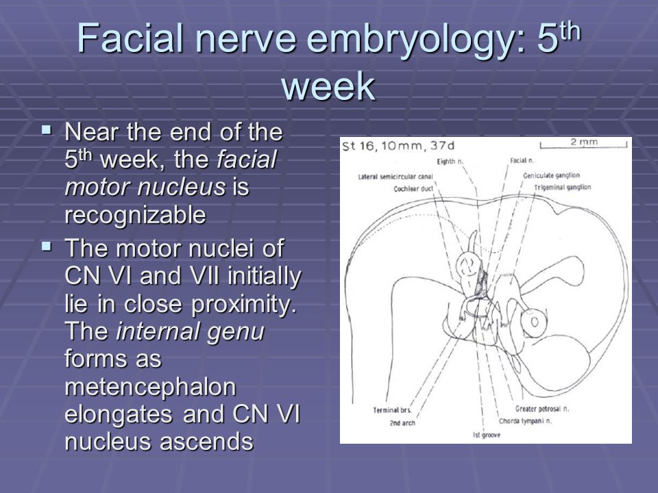 Facial nerve embryology: 5 th week  Near the end of the 5 th week, the facial motor nucleus is recognizable  The motor nuclei of CN VI and VII initially lie in close proximity.