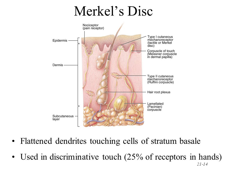 21-14 Merkel's Disc Flattened dendrites touching cells of stratum basale Used in discriminative touch (25% of receptors in hands)