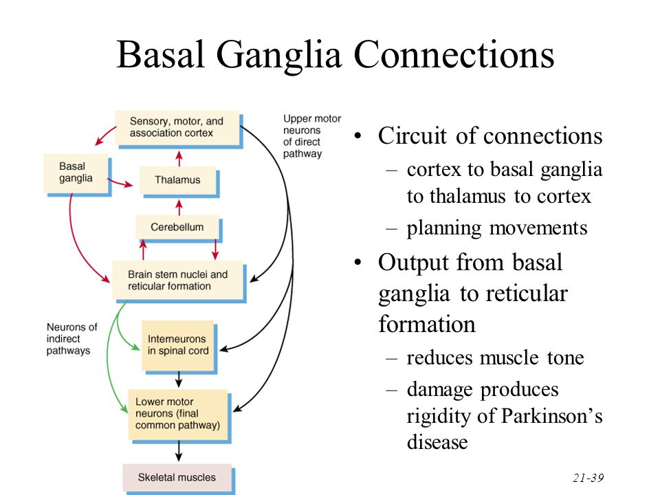 21-39 Basal Ganglia Connections Circuit of connections –cortex to basal ganglia to thalamus to cortex –planning movements Output from basal ganglia to