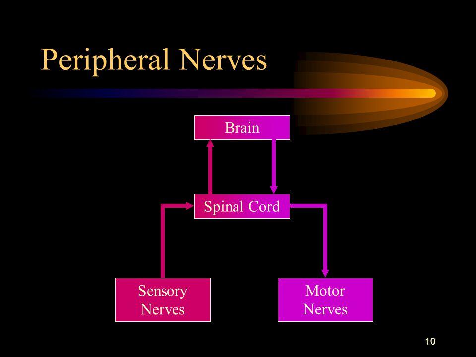 10 Peripheral Nerves Brain Sensory Nerves Motor Nerves Spinal Cord