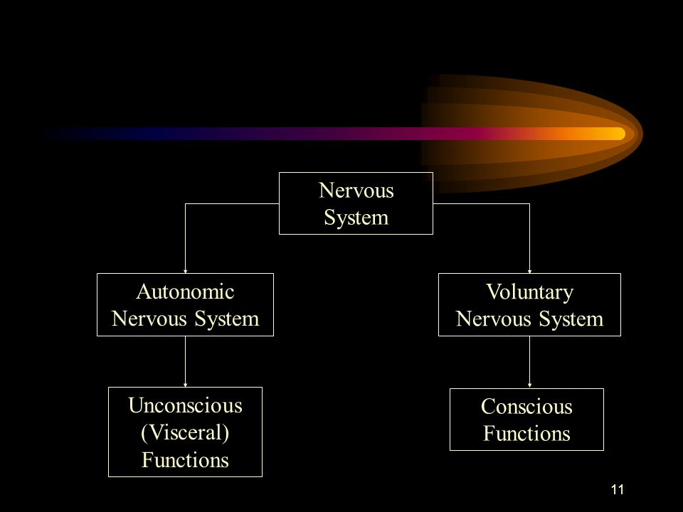 11 Nervous System Voluntary Nervous System Autonomic Nervous System Conscious Functions Unconscious (Visceral) Functions