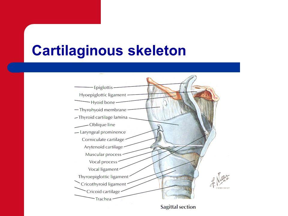 Cartilaginous skeleton
