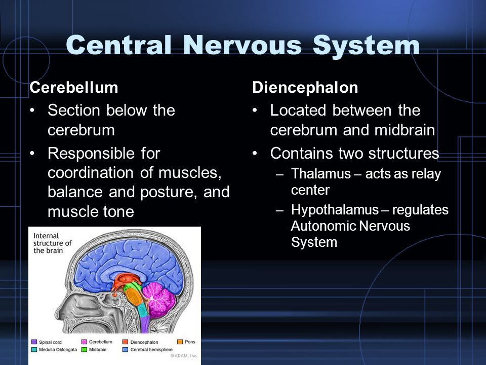 Central Nervous System Cerebellum Section below the cerebrum Responsible for coordination of muscles, balance and posture, and muscle tone Diencephalo
