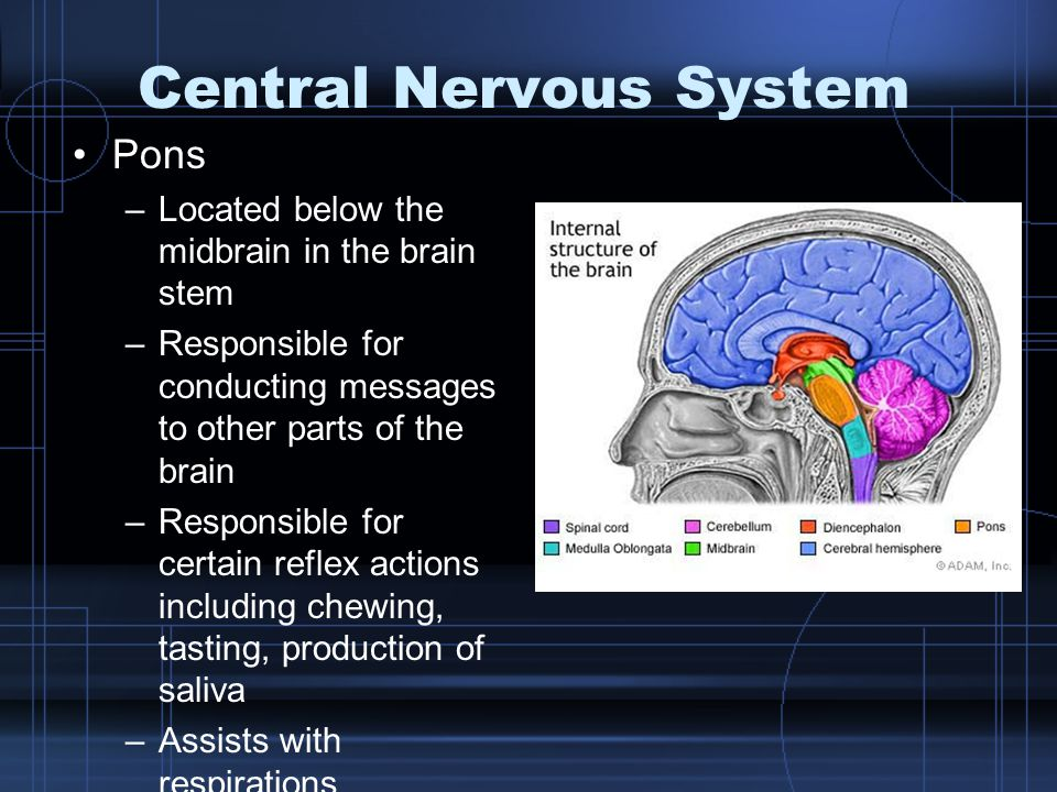 Central Nervous System Pons –Located below the midbrain in the brain stem –Responsible for conducting messages to other parts of the brain –Responsible for certain reflex actions including chewing, tasting, production of saliva –Assists with respirations