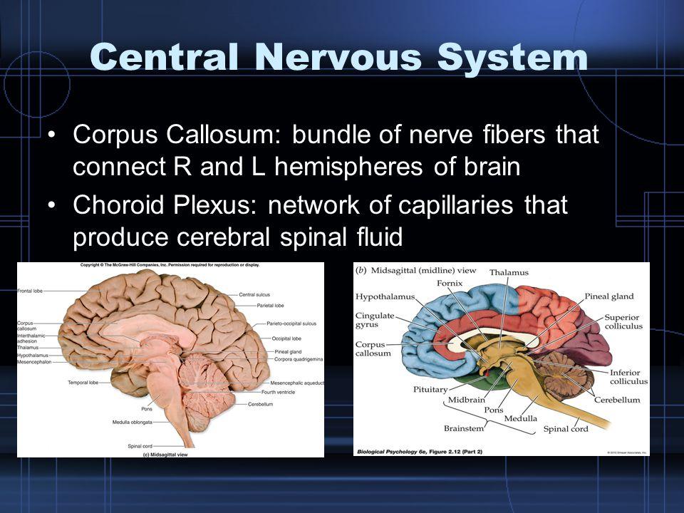 Central Nervous System Corpus Callosum: bundle of nerve fibers that connect R and L hemispheres of brain Choroid Plexus: network of capillaries that p