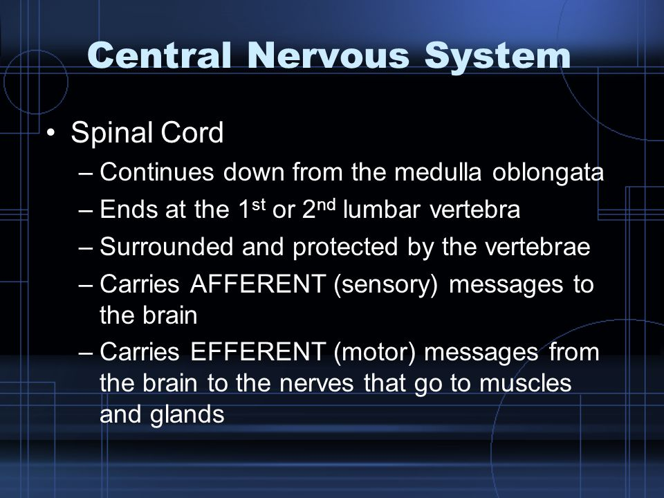 Central Nervous System Spinal Cord –Continues down from the medulla oblongata –Ends at the 1 st or 2 nd lumbar vertebra –Surrounded and protected by t
