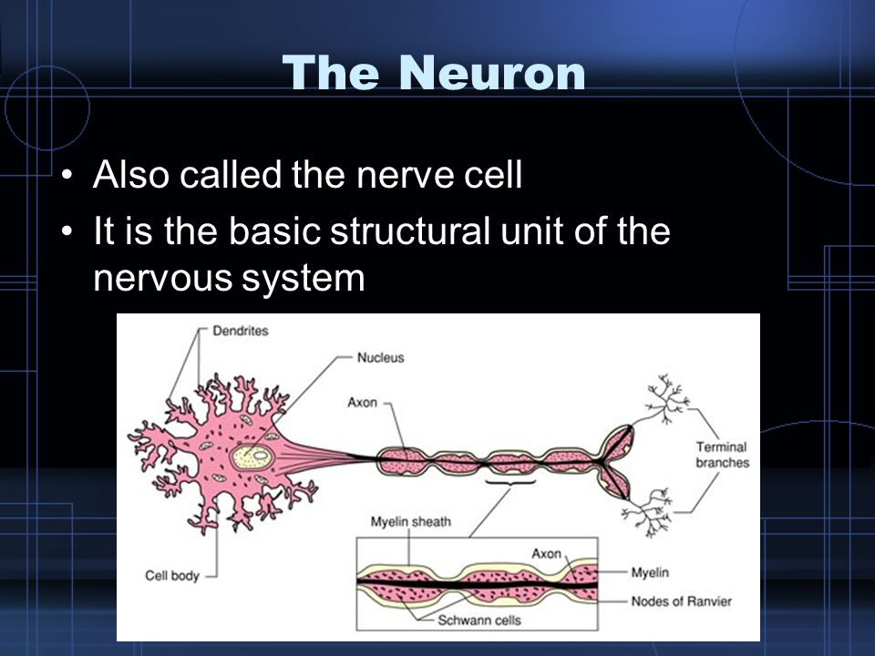 The Neuron Also called the nerve cell It is the basic structural unit of the nervous system