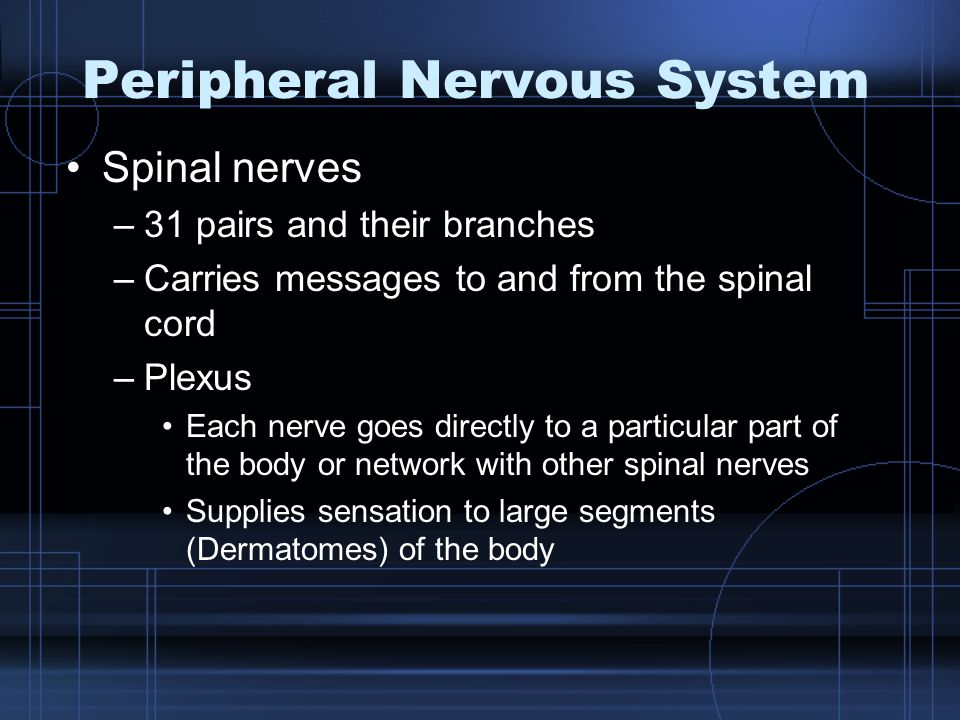 Peripheral Nervous System Spinal nerves –31 pairs and their branches –Carries messages to and from the spinal cord –Plexus Each nerve goes directly to