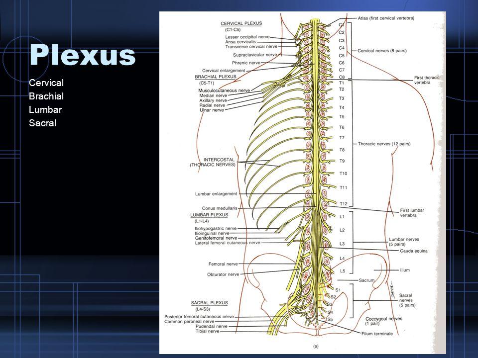Plexus Cervical Brachial Lumbar Sacral