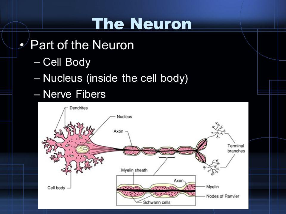 Nerve Fibers Dendrites –Carries impulses TOWARD the cell body Axon –Single nerve fiber that carries impulses AWAY from the cell body