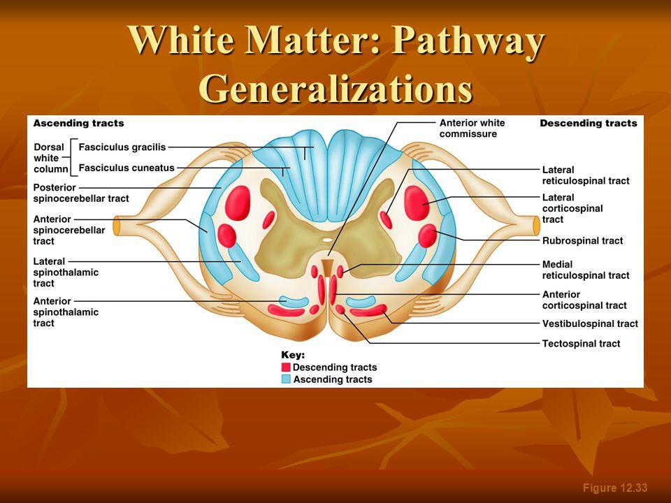 White Matter: Pathway Generalizations Figure 12.33