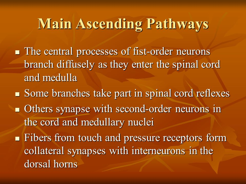 Main Ascending Pathways The central processes of fist-order neurons branch diffusely as they enter the spinal cord and medulla The central processes o