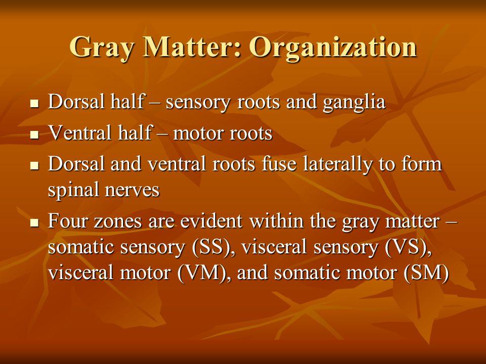 Gray Matter: Organization Dorsal half – sensory roots and ganglia Dorsal half – sensory roots and ganglia Ventral half – motor roots Ventral half – motor roots Dorsal and ventral roots fuse laterally to form spinal nerves Dorsal and ventral roots fuse laterally to form spinal nerves Four zones are evident within the gray matter – somatic sensory (SS), visceral sensory (VS), visceral motor (VM), and somatic motor (SM) Four zones are evident within the gray matter – somatic sensory (SS), visceral sensory (VS), visceral motor (VM), and somatic motor (SM)