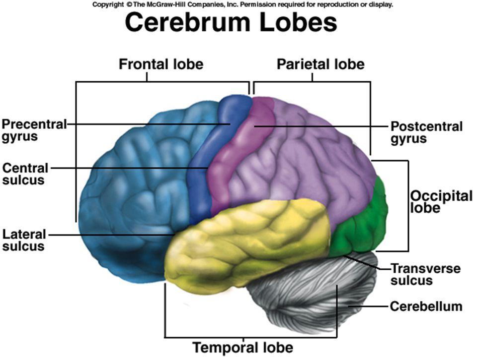 Cerebral Hemispheres: Lobes –Frontal –Temporal –Parietal –Occipital