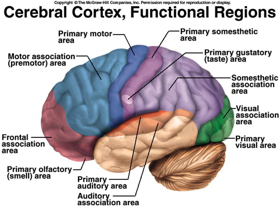 Language Broca's Area –Frontal lobe –Speech motor function