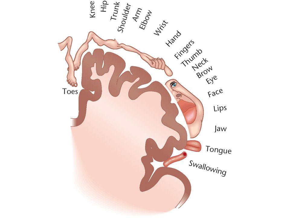 Other Brain Structures –Brainstem –Medulla –Reticular formation