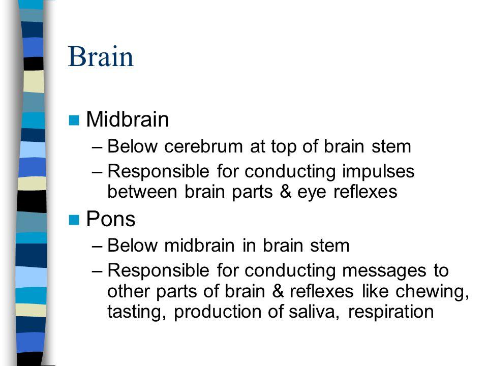 Brain Midbrain –Below cerebrum at top of brain stem –Responsible for conducting impulses between brain parts & eye reflexes Pons –Below midbrain in br