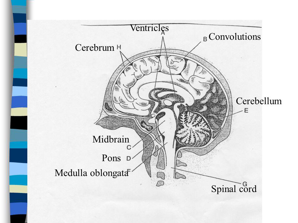 Ventricles Convolutions Midbrain Pons Medulla oblongata Cerebellum Spinal cord Cerebrum