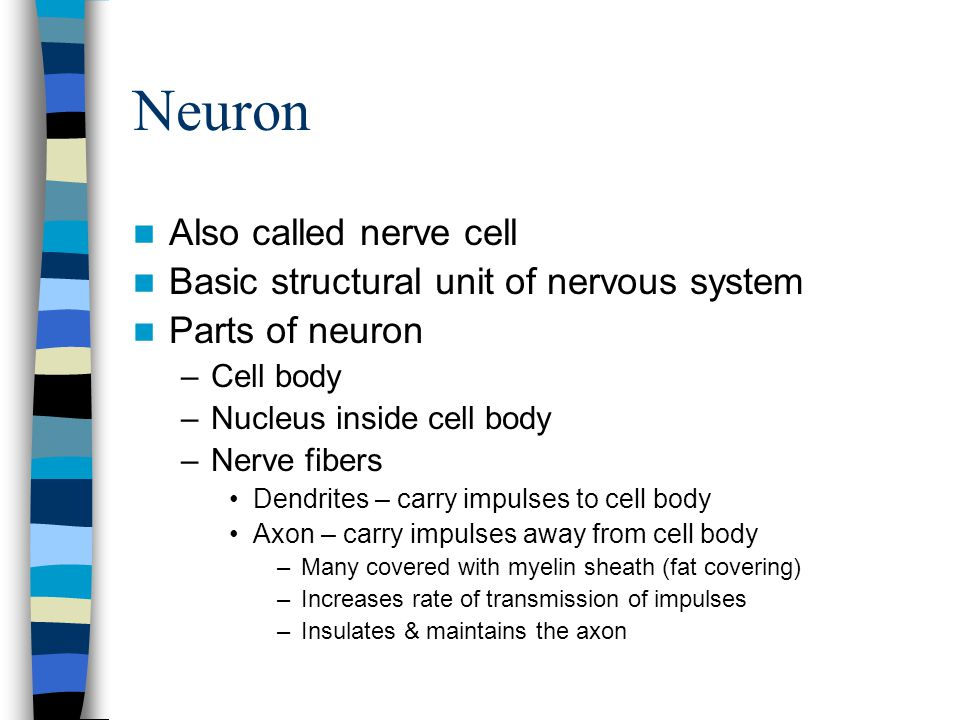 Neuron Also called nerve cell Basic structural unit of nervous system Parts of neuron –Cell body –Nucleus inside cell body –Nerve fibers Dendrites – c