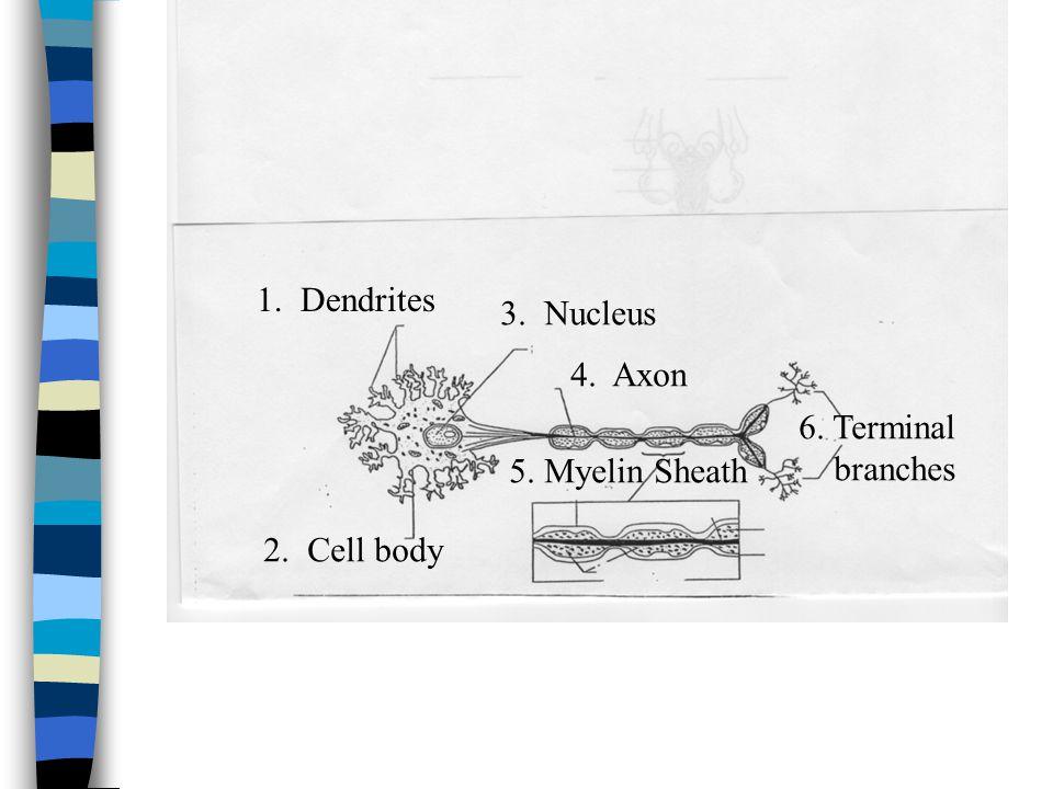 1. Dendrites 2. Cell body 3. Nucleus 4. Axon 5. Myelin Sheath 6. Terminal branches