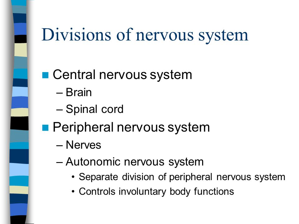 Divisions of nervous system Central nervous system –Brain –Spinal cord Peripheral nervous system –Nerves –Autonomic nervous system Separate division o