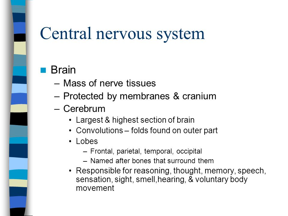 Central nervous system Brain –Mass of nerve tissues –Protected by membranes & cranium –Cerebrum Largest & highest section of brain Convolutions – fold