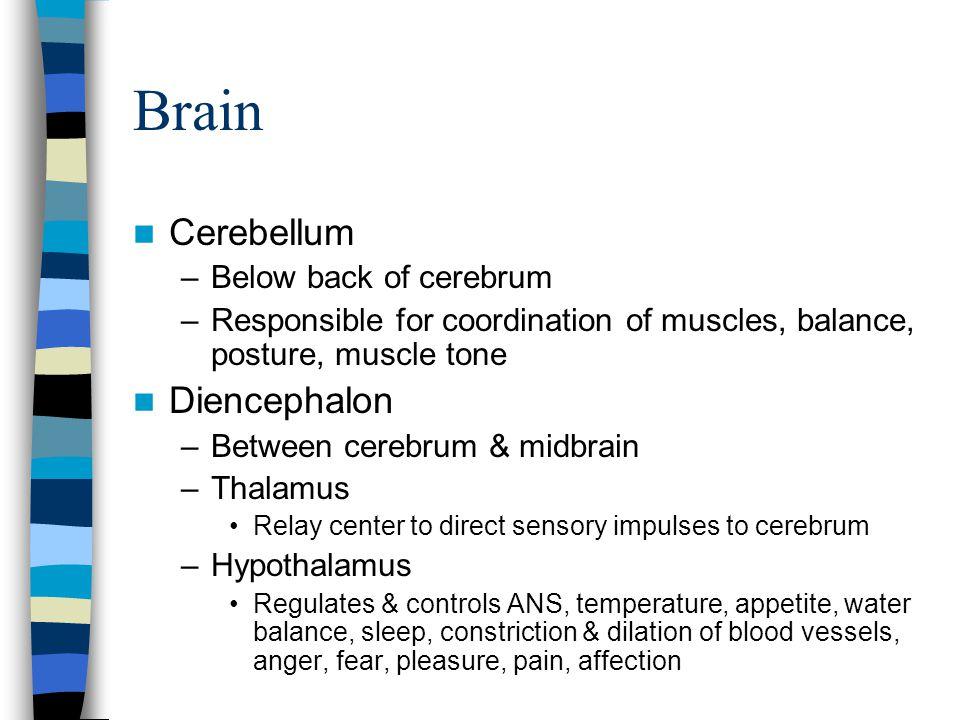 Brain Cerebellum –Below back of cerebrum –Responsible for coordination of muscles, balance, posture, muscle tone Diencephalon –Between cerebrum & midb