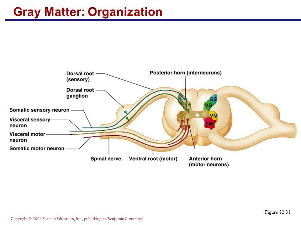 Copyright © 2004 Pearson Education, Inc., publishing as Benjamin Cummings Gray Matter: Organization Figure 12.31