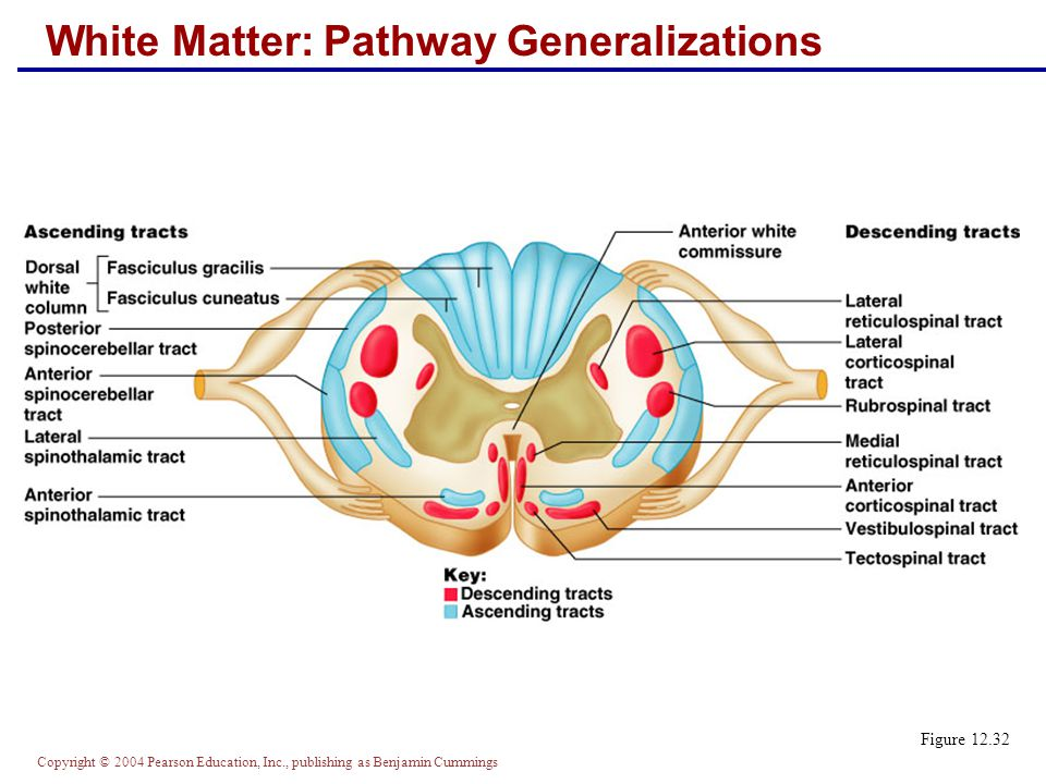 Copyright © 2004 Pearson Education, Inc., publishing as Benjamin Cummings White Matter: Pathway Generalizations Figure 12.32