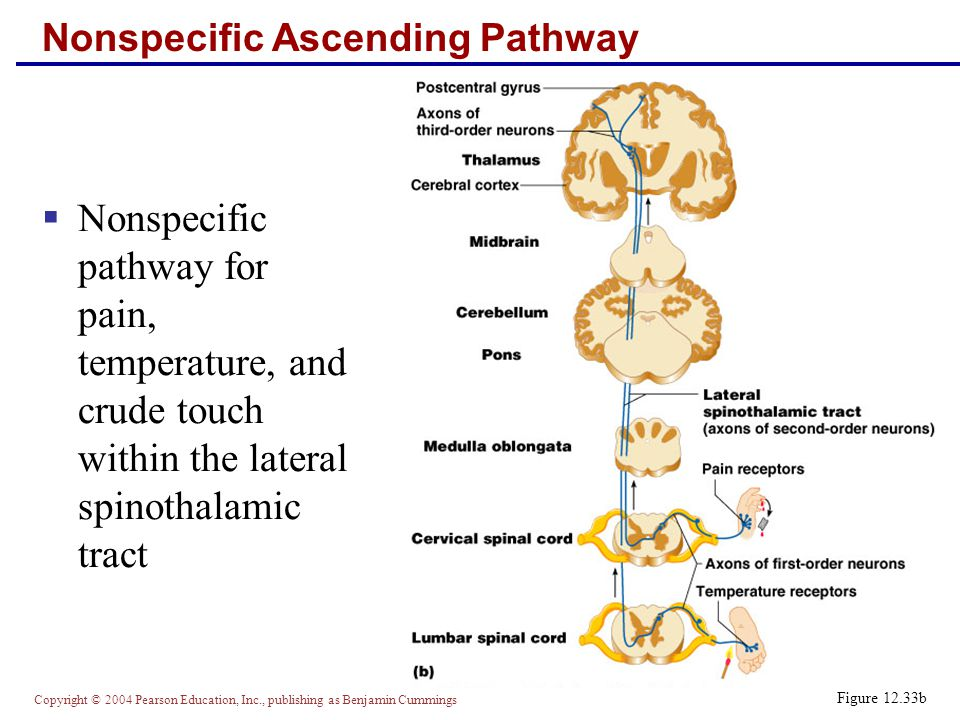 Copyright © 2004 Pearson Education, Inc., publishing as Benjamin Cummings Nonspecific Ascending Pathway  Nonspecific pathway for pain, temperature, and crude touch within the lateral spinothalamic tract Figure 12.33b